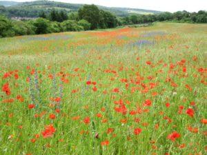 Wildflower Paintings of meadows